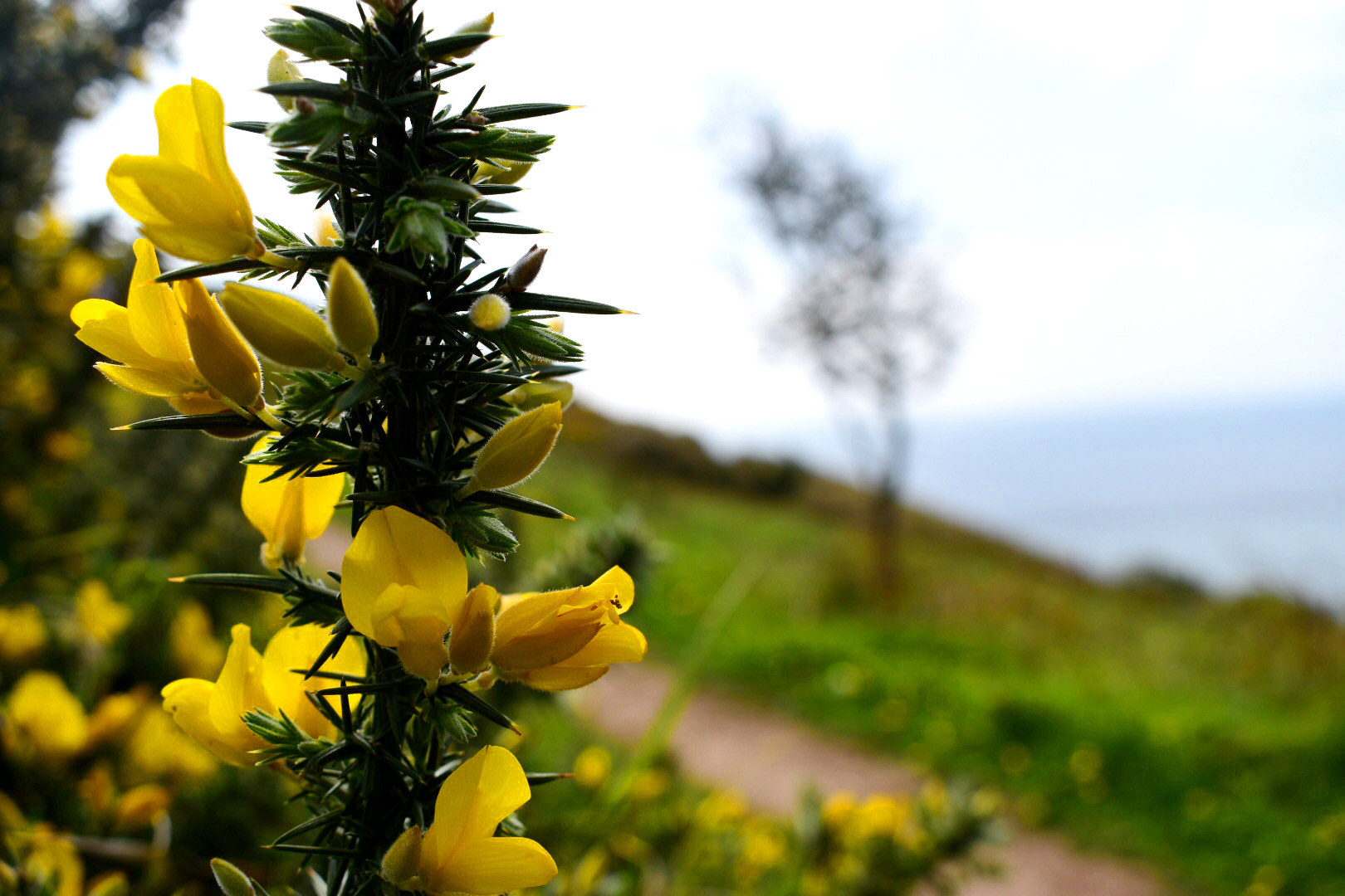gorse on the South West Coast Path